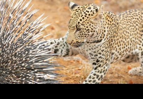 Joven leopardo se encuentra por primera vez con un puercoespín