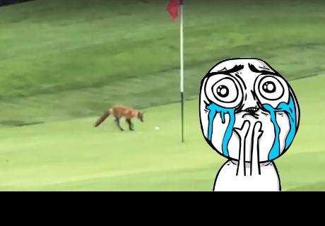 Un zorro espera junto al hoyo y roba la pelota de golf