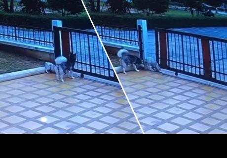 Dos perros escaparon de su casa y la forma en cómo lo hicieron sorprendió a todos