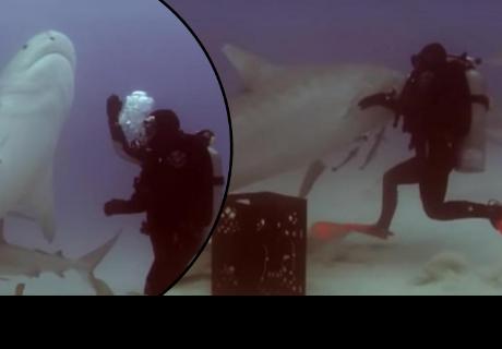 Buceadora hipnotiza a enorme tiburón tigre y deja sorprendidos a cibernautas