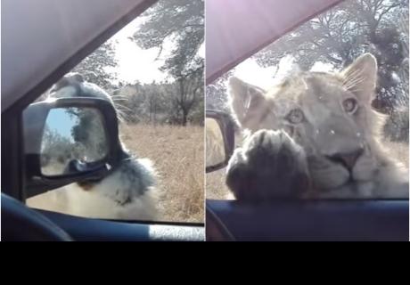 Se llevan el susto de sus vidas cuando un león 'toca a la puerta' de su coche en Sudáfrica