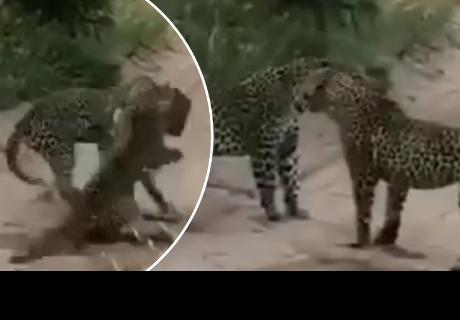 Esta es la increíble pelea entre dos leopardos que se ha vuelto viral en las redes