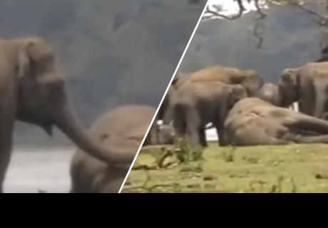 Elefantes le dan el último adiós a su líder y conmueven a cibernautas