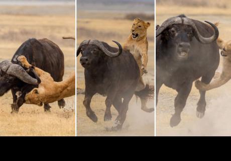 Leonas enseñan a sus crías a cazar un búfalo, pero el final es inesperado