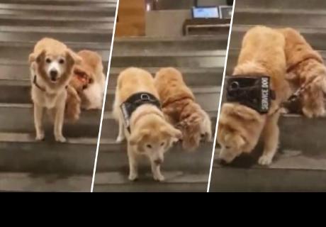 Perrito ciego tiene su propio can guía y juntos enternecen las redes sociales