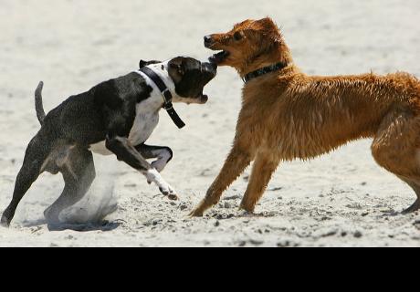 ¿Cómo separar a mi perro cuando se pelea con otro? [VIDEO]