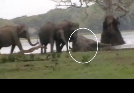 Elefantes pierden a su líder en combate y le rinden conmovedor tributo