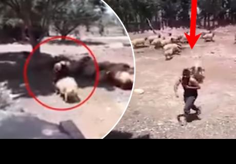 Joven decidió subir al lomo de una oveja, pero tuvo doloroso final