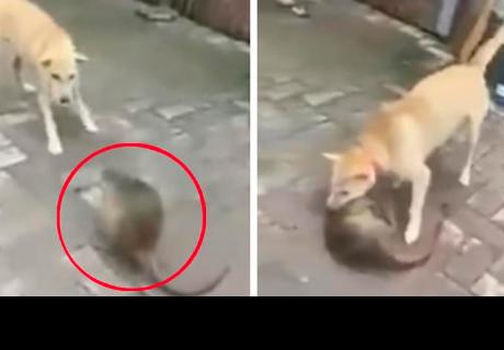 Pelea a muerte entre perro y una gran rata se vuelve viral pero tiene un final 'perturbador'
