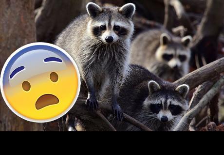 Enfermedad que convierte en 'zombies' a los mapaches