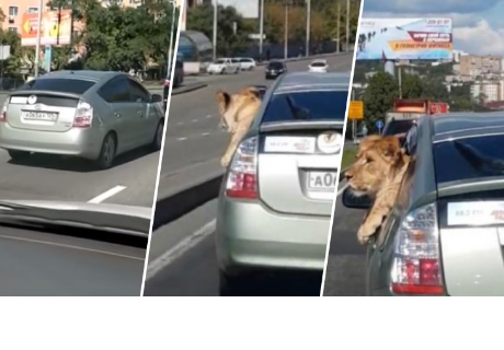 León viaja como pasajero dentro de un auto y el vídeo sorprendió a todos en la red