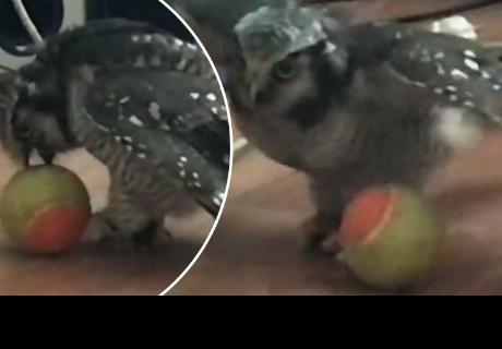Búho gavilán sorprende a cibernautas al jugar con una pelota como si fuese un perro