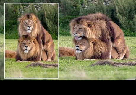 Una 'historia de amor' entre dos leones demuestra que la naturaleza todo lo puede