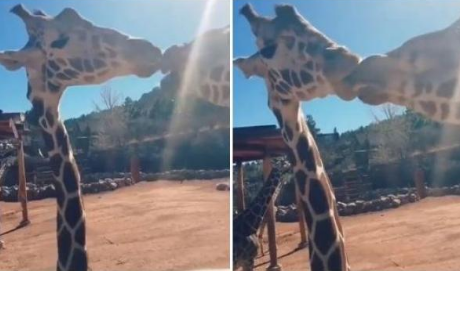 Dos jirafas se dan tierno beso y las redes 'estallan' de ternura