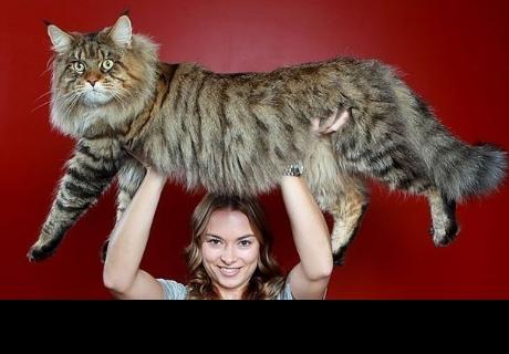 Estos son los gatos más gigantes del mundo