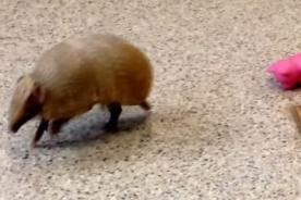 Probablemente este sea el armadillo más tierno de Internet [Video]