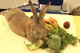 Conoce al conejo más grande del mundo - VIDEO