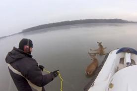 El conmovedor rescate dos ciervos atrapados en el hielo - VIDEO
