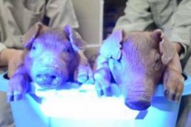 Increíble: Científicos crean cerdos que brillan en la oscuridad - VIDEO