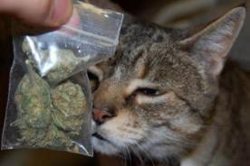 Insólito: Gato fue denunciado tras volver a casa con marihuana - FOTO