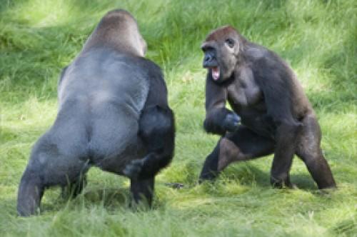 Fotos: Hermanos gorilas se abrazan con emoción tras 3 años separados