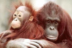 Tailandia: Trafican Orangutanes hembras para la prostitución