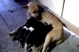 Video: Conmovedora imagen de una perra que amamanta a cuatro cerditos