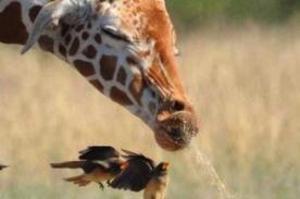 ¡Insólito! Fotógrafo capta momento preciso en que una jirafa estornuda (FOTOS)