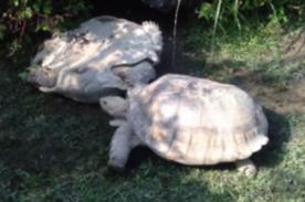¡Todo un ejemplo! Video de tortuga ayudando a otra es lo más tierno de YouTube