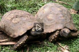 Carrera de tortugas: Conoce la singular actividad pucallpina - VIDEO