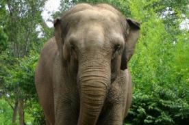 Video de elefante liberado tras 50 años cautivo conmueve en YouTube