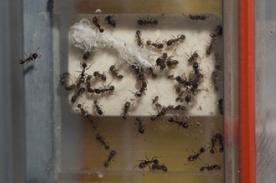 Increíble: La NASA envió 800 hormigas al espacio