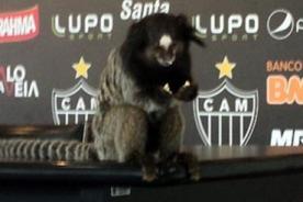 Dos monos se infiltran en la sala de prensa del Atlético Mineiro