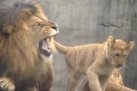 ¿Por qué tan serio? León malhumorado no quiere jugar con sus crías - VIDEO