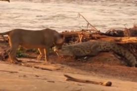 Increíble: León lucha contra cocodrilo para proteger a leona y a cría - VIDEO