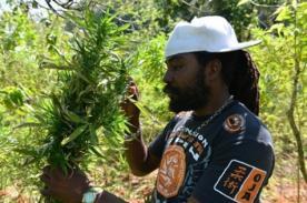 Jamaica planea despenalizar la marihuana