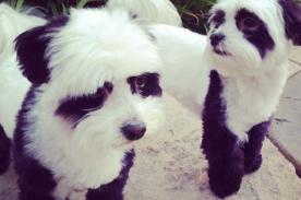Perros panda: Nueva moda para los ricos en China