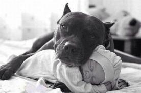 Los pitbulls también pueden ser tiernos (realmente tiernos) [Fotos]
