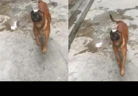 Perrito demuestra su equilibrio al llevar un vaso con agua en su hocico