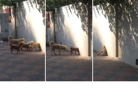 Perros 'desaparecen' en un pared e impactan a más de un cibernauta
