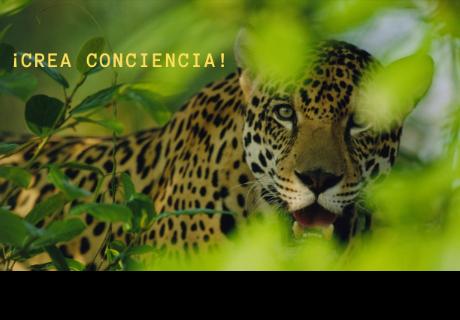 Investigación secreta revela caza ilegal de jaguares silvestres