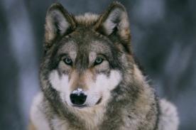 Viral: ¿Cómo los lobos pueden cambiar el mundo? - Video