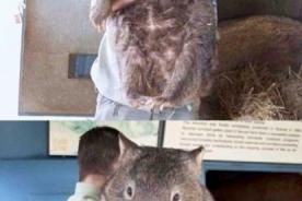 Impresionante y adorable: Patrick es el wombat más viejo del mundo