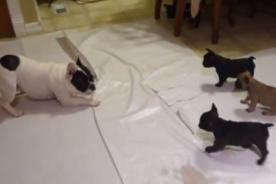 Increíble: Madre bulldog enseña a jugar a sus cachorros - Video