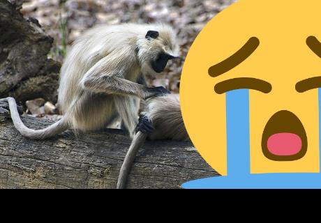Bebé de mono intenta despertar a su madre que pasó 'a mejor vida'