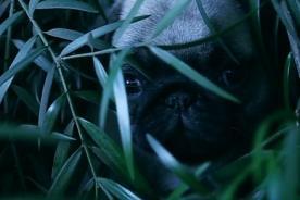 El Planeta de los Pugs: Tráiler protagonizado por tiernos perritos [Video]