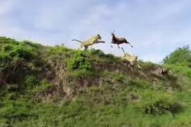 VIDEO: Leona 'vuela' para atrapar a un antílope en el aire