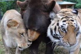 Conoce la amistad entre un oso, un tigre y un león [Fotos]