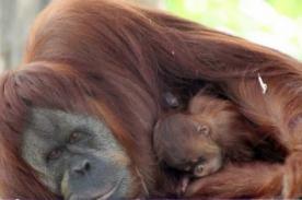 Una orangután sorprende dando a luz a los 40 años