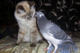 Insólito: Palomita sorprende al mundo al convivir con 3 gatos - FOTOS